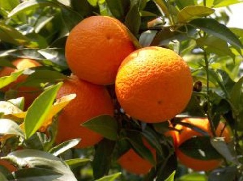 laranjas_2579182.jpg