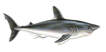 Tubarão marracho aparece na Madeira.jpg