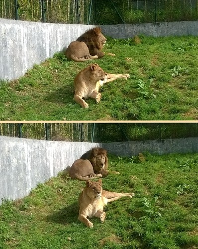 Zoo da Maia - leões 2