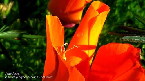 Tulipa campestre