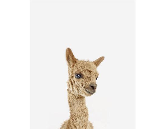 baby_alpaca_little_darling_theanimalprintshop.com.