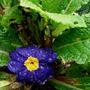 primula_vulgaris.jpg