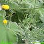 matricaria_aurea.jpg