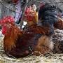 VIETNAM POULTRY BIRD FLU