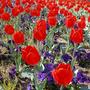 tulipani3[1].jpg