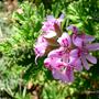 Pelargonium_graveolens.jpg