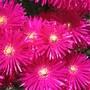 flores cor-de-rosa.jpg