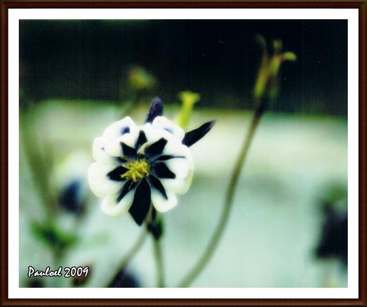 Púrpura Branca