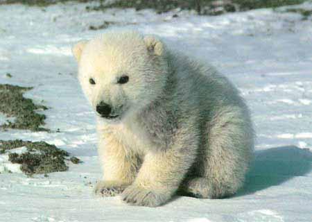 Urso polar11