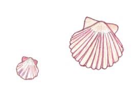 Conchas. Digitalização de desenho de F. C. M. .jpg