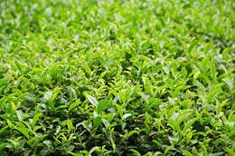 Chá Verde Japão.jpg