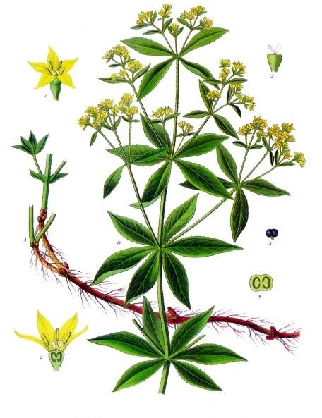 Rubia_tinctorum_-_Köhler–s_Medizinal-Pflanzen-1