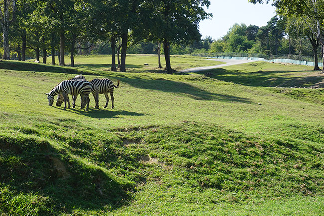 zebra_safari park