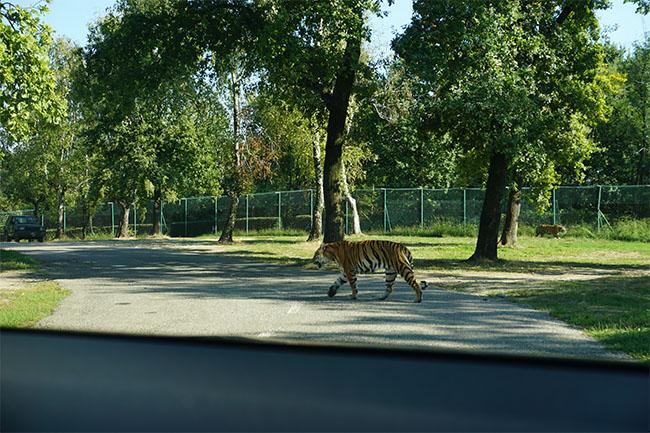 tiger_03_safaripark