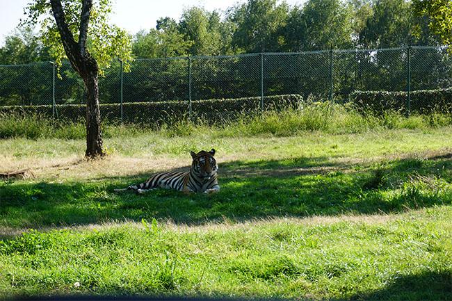 tiger_safaripark